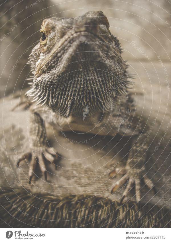 Bartagamen schön Tier ruhig elegant ästhetisch beobachten Gelassenheit exotisch Stolz geduldig Respekt Schüchternheit Reptil bequem hocken Krallen