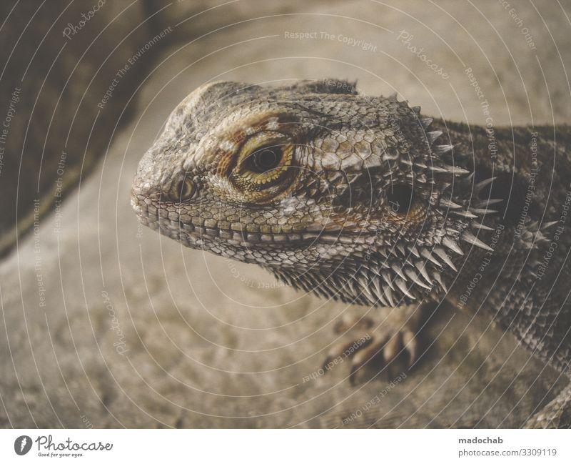 Bartagamen Tier Schuppen Krallen Dinosaurier Reptil Bart-Agame Echsen Echte Eidechsen beobachten Tierliebe achtsam Wachsamkeit Vorsicht Gelassenheit geduldig