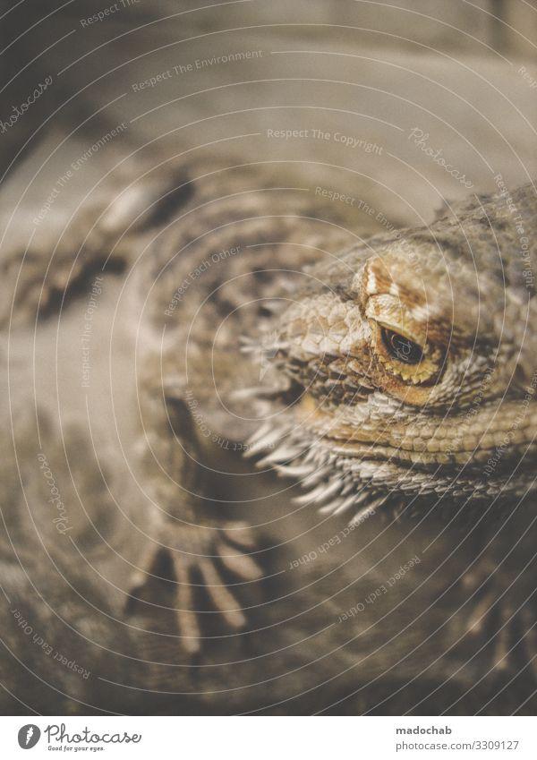 Bartagamen Natur Tier Schuppen Krallen Bart-Agame Reptil Echsen Echsenauge Dinosaurier Echte Eidechsen beobachten sitzen Tierliebe friedlich achtsam Wachsamkeit