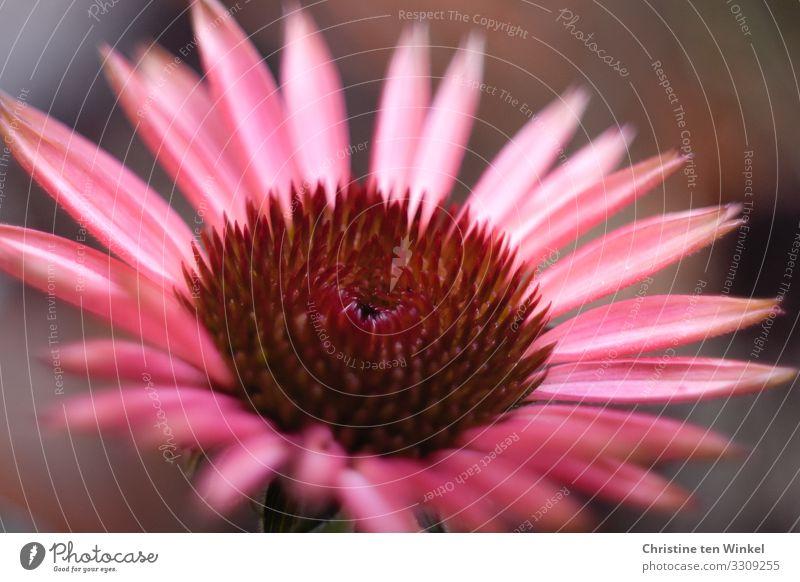 Roter Sonnenhut Natur Pflanze schön Blume Blüte natürlich Gefühle außergewöhnlich rosa glänzend elegant ästhetisch Kreativität Lebensfreude fantastisch Romantik
