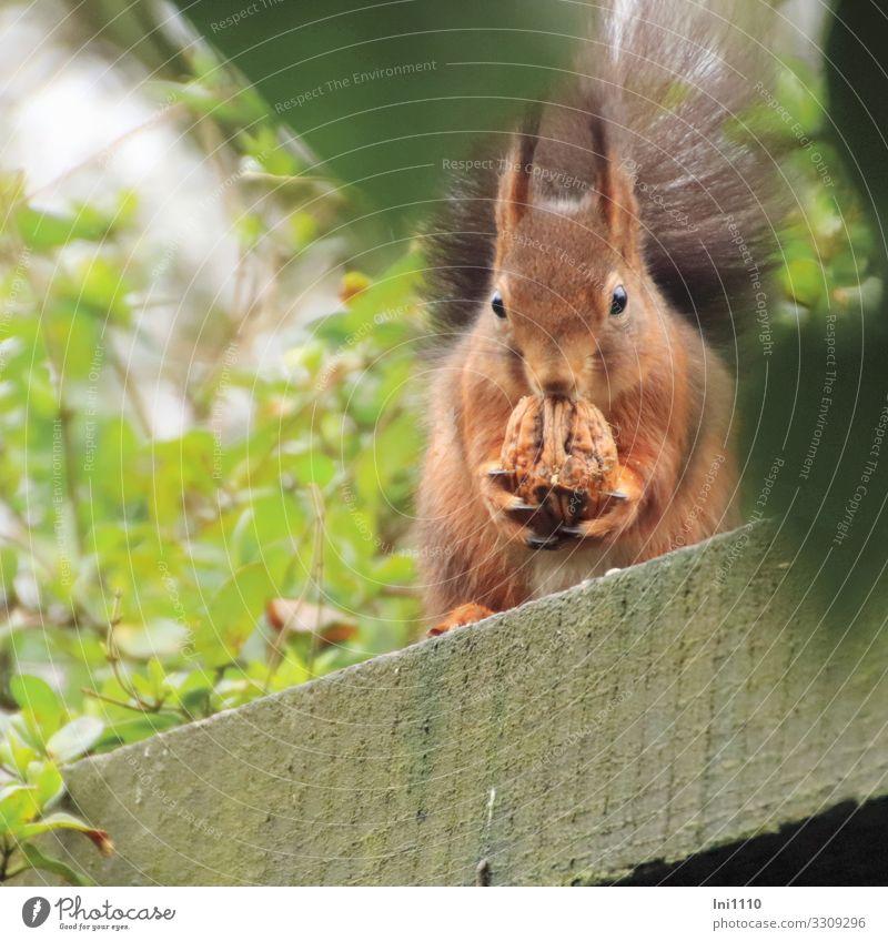 Besuch im Garten I Natur Pflanze Tier Winter Schönes Wetter Wildtier Eichhörnchen 1 braun grau grün Nussknacker Walnuss brechen füttern Delikatesse Nagetiere