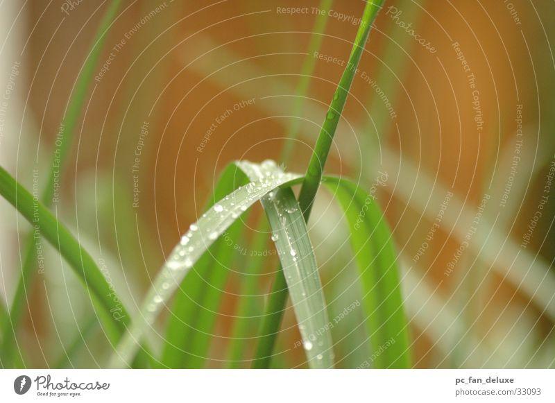 Schilf im Regen grün Regen Wassertropfen Seil Schilfrohr