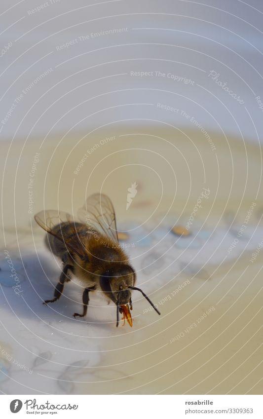 hier riechts doch nach... | Honig – Biene beim Honigschlecken auf einem Teller süß Rüssel nah klebrig Detail Makro Insekt Buckfast abtasten untersuchen