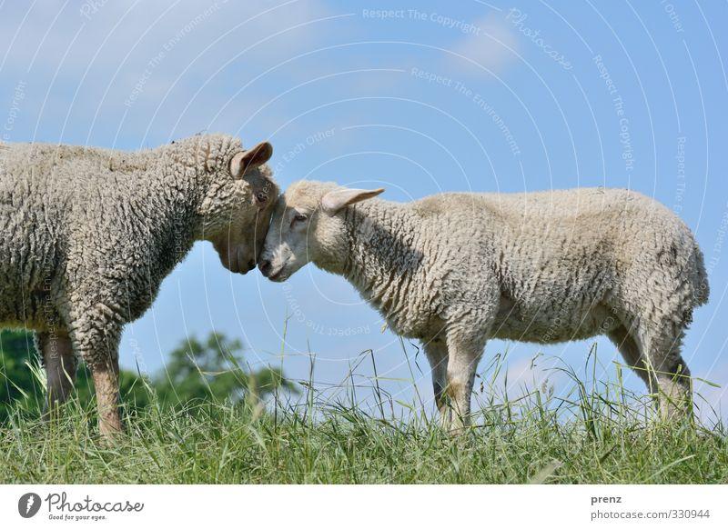 Kopf an Kopf Umwelt Natur Tier Nutztier 2 Tierpaar blau grau grün Schaf Gras Farbfoto Außenaufnahme Menschenleer Textfreiraum oben Tag Licht Schatten Kontrast