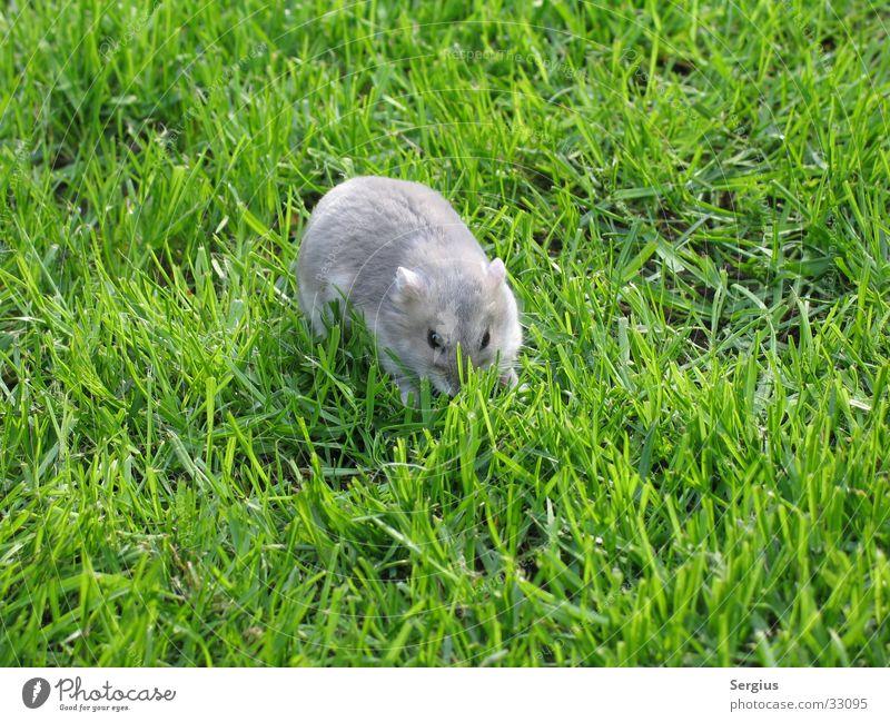 Zwerghamster auf dem Rasen Hamster Haustier Zoomeffekt Nahaufnahme