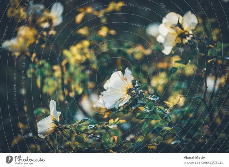 Bet Figueras-Rosen Natur Pflanze Winter Schönes Wetter Blume Blatt Blüte Garten Park ästhetisch Duft frisch schön einzigartig gelb grün weiß Gefühle Liebe