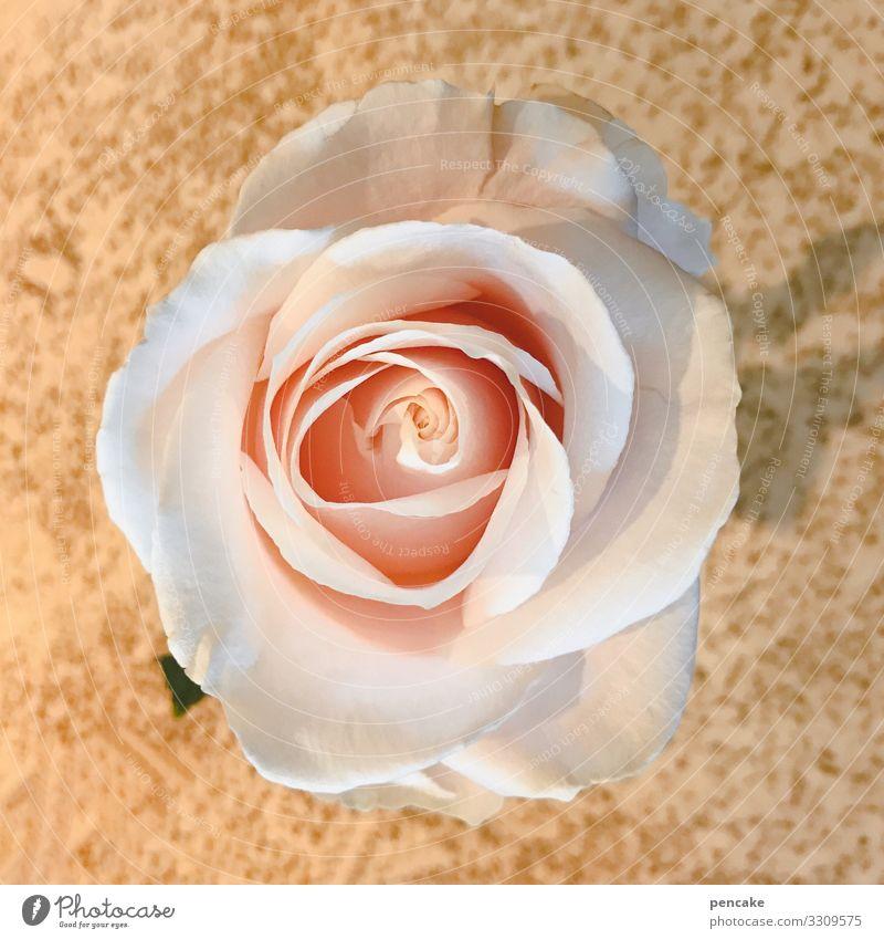 hier riecht's doch nach | rosen Rose Blume Blüte rosa Farbfoto Nahaufnahme Schwache Tiefenschärfe Pflanze Duft natürlich Blühend Rosenblüte Sommer Romantik