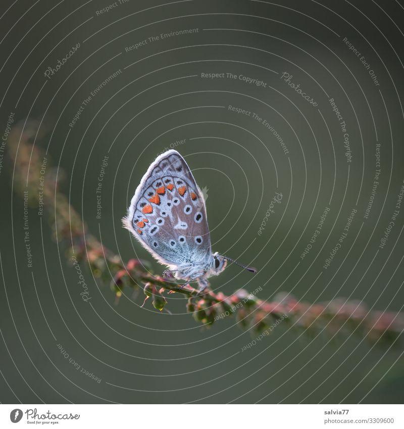 verdiente Pause Umwelt Natur Tier Sommer Pflanze Gras Samen Stengel Schmetterling Flügel Insekt Bläulinge 1 klein oben Leichtigkeit ruhig Farbfoto Außenaufnahme