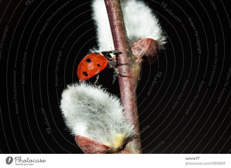Käfer und Kätzchen Natur Pflanze Tier Umwelt Blüte Frühling Wege & Pfade Glück Sträucher Ziel Klettern Insekt aufwärts krabbeln Marienkäfer