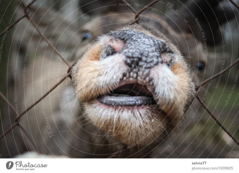 nicht so gierig Tier Tiergesicht Säugetier Hirsche Rothirsch Kopf Schnauze Maul Nasenloch 1 außergewöhnlich Neugier anstrengen Gier lustig Farbfoto
