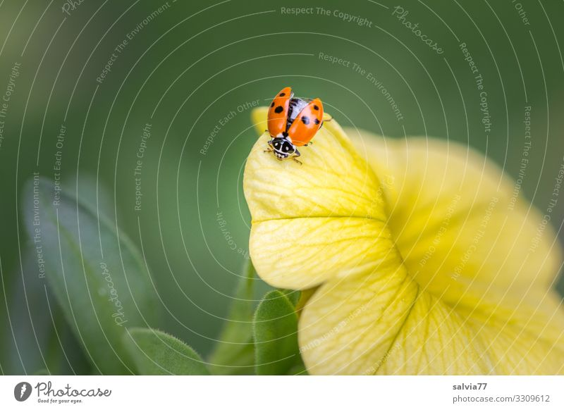 Marienkäfer sitzt auf gelber Blüte mit geöffnetem Flügel Natur Blume Sommer Pflanze Makroaufnahme Farbfoto Menschenleer Schwache Tiefenschärfe Nahaufnahme schön