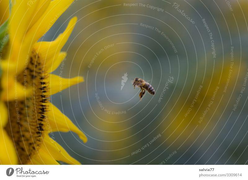 Bienenflug Umwelt Natur Pflanze Tier Sommer Klima Blume Blüte Sonnenblume Garten Feld Nutztier Insekt Honigbiene 1 Blühend Duft Ziel fliegen Nektar Farbfoto