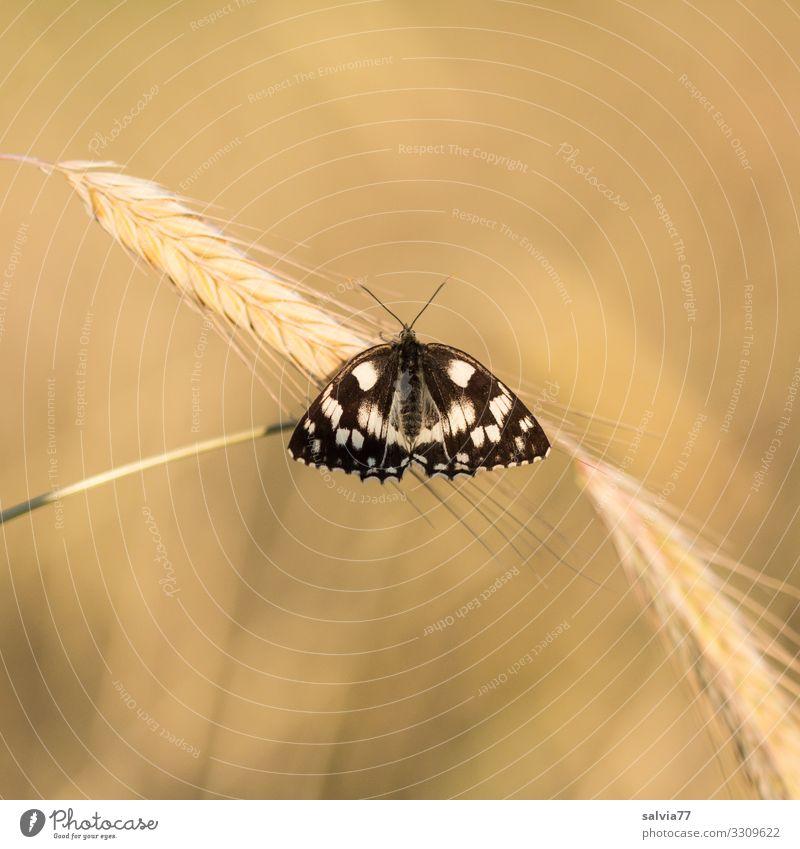 Ein Bett im Kornfeld Umwelt Natur Sommer Herbst Schönes Wetter Pflanze Blüte Nutzpflanze Getreidefeld Feld Tier Schmetterling Flügel Insekt Schachbrett Ähren