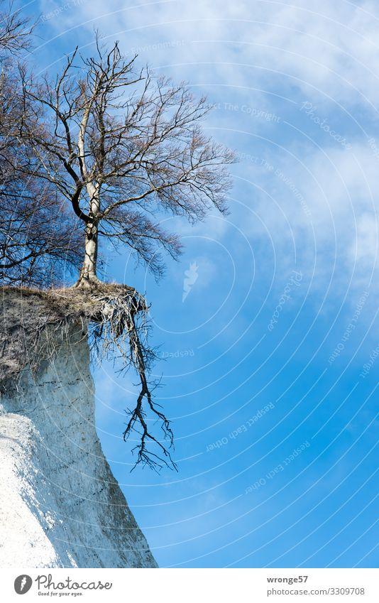 Standhaftigkeit Natur Landschaft Pflanze Winter Schönes Wetter Baum Küste Ostsee Kreidefelsen hängen stehen warten natürlich oben blau braun weiß bizarr