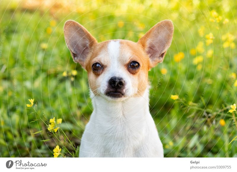 Lustiger weißer Chihuahua mit großen Ohren Freude Gesicht Fotokamera Freundschaft Tier Blume Blüte Haustier Hund sitzen klein lustig niedlich braun