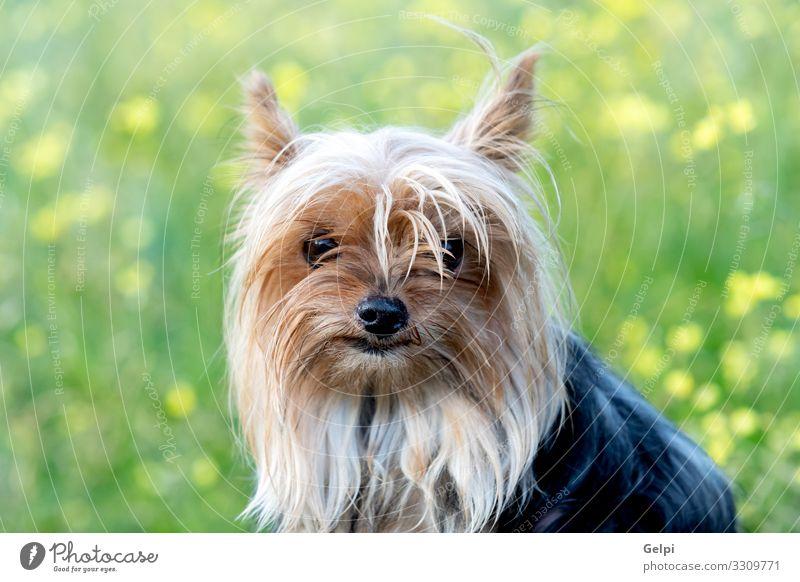 Lustiger kleiner Yorkshire-Hund Freude Glück Freundschaft Tier Blume Blüte Wiese Haustier Spielzeug Liebe Freundlichkeit lustig niedlich braun weiß Einsamkeit