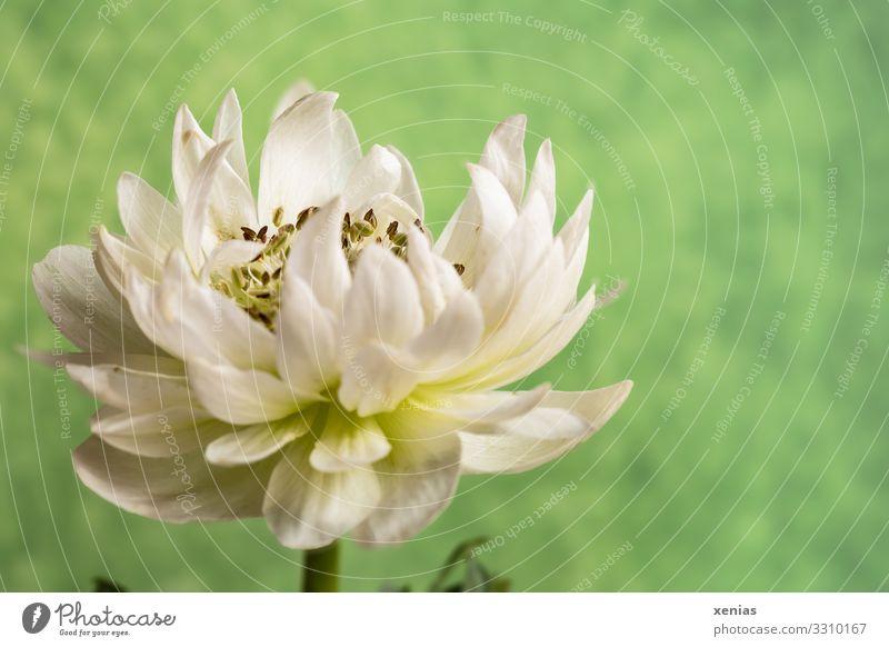 weiße Anemone vor grünem Hintergrund ruhig Häusliches Leben Dekoration & Verzierung Frühling Sommer Pflanze Blume Blüte Anemonen Blühend xenias Farbfoto