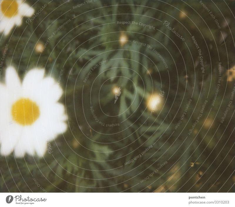 Unscharfe Margeriten analog Umwelt Natur Pflanze Blume Gras Garten Wiese schön Blüte Gänseblümchen Kamille weiß gelb grün Außenaufnahme Nahaufnahme Polaroid