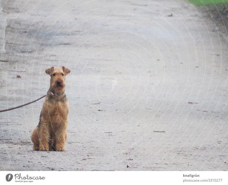 Airedale Terrier Hund Tier Wege & Pfade braun grau sitzen warten Haustier Wachsamkeit Hundeleine angeleint