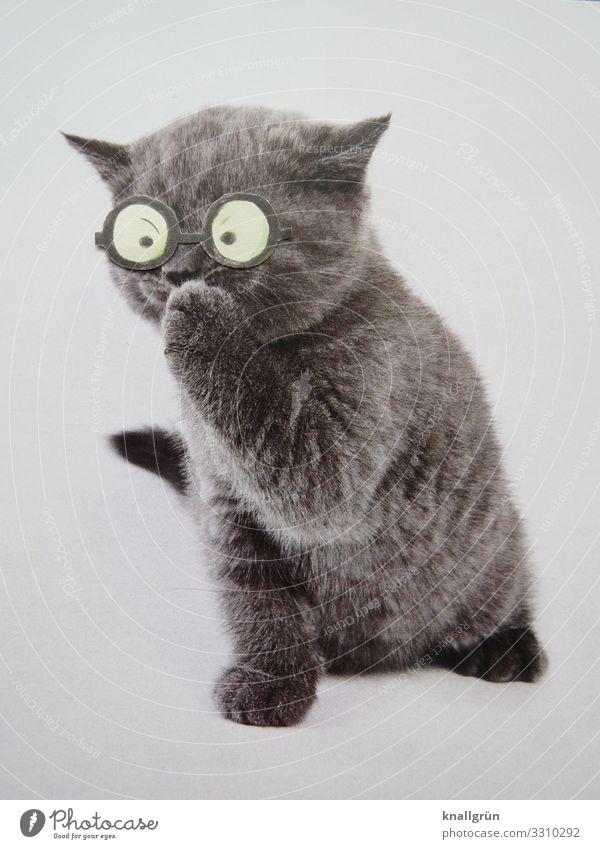 Pssst! Katze weiß Tier grau Kommunizieren niedlich Brille Neugier Haustier kuschlig Katzenbaby
