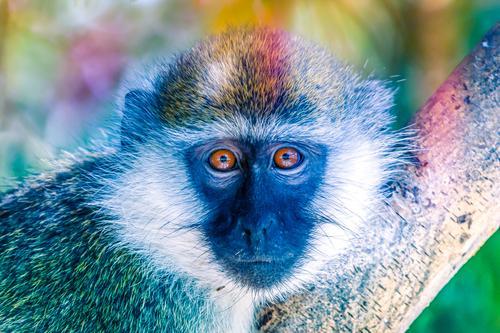 grüner Affe auf einem Baum, der in die Kamera schaut Essen Gesicht Safari Sommer Erwachsene Natur Tier Gras Park Pelzmantel sitzen natürlich niedlich wild braun