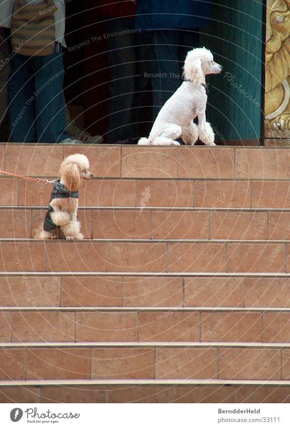 Pudel on the stairs weiß Haare & Frisuren Hund warten Treppe verschönern anziehen Pudel angeleint Hundeleine Rassehund