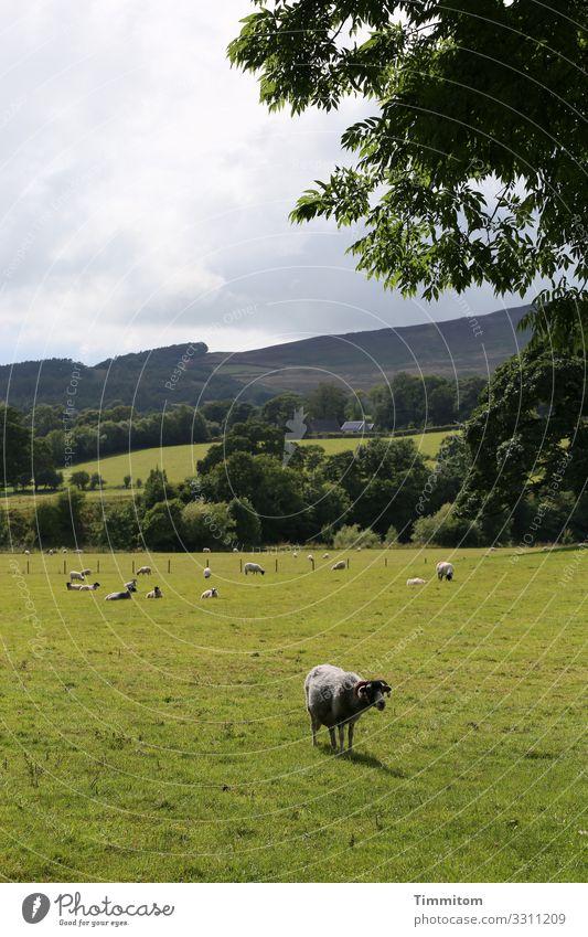 Wachschaf nähert sich Ferien & Urlaub & Reisen Umwelt Natur Landschaft Pflanze Tier Himmel Wolken Wetter Baum Gras Wiese Wald Hügel Nutztier Schafherde