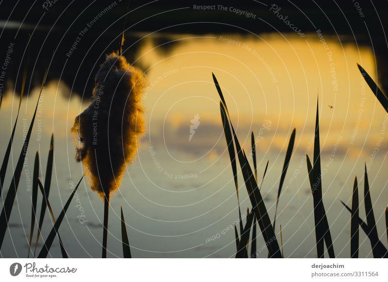 Rohrkolben am Weiher im Abendlicht.Sehr schöne Farben. Freude harmonisch wandern Natur Schönes Wetter Bayern Deutschland Menschenleer Pflanze beobachten