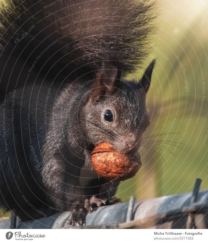 Eichhörnchen mit Nuss im Maul Natur Tier Sonnenlicht Schönes Wetter Wildtier Tiergesicht Fell Krallen Pfote Kopf Auge Ohr Schwanz 1 festhalten Fressen Blick