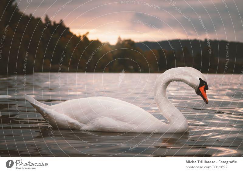 Schwan im Sonnenuntergang Himmel Natur blau Wasser weiß Landschaft Wolken Tier See orange Vogel Schwimmen & Baden Stimmung Kopf Wildtier