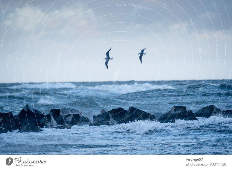 2 Möwen und Meer Urelemente Erde Luft Wasser Himmel Herbst schlechtes Wetter Unwetter Sturm Wellen Küste Ostsee Tier Wildtier Vogel fliegen bedrohlich blau