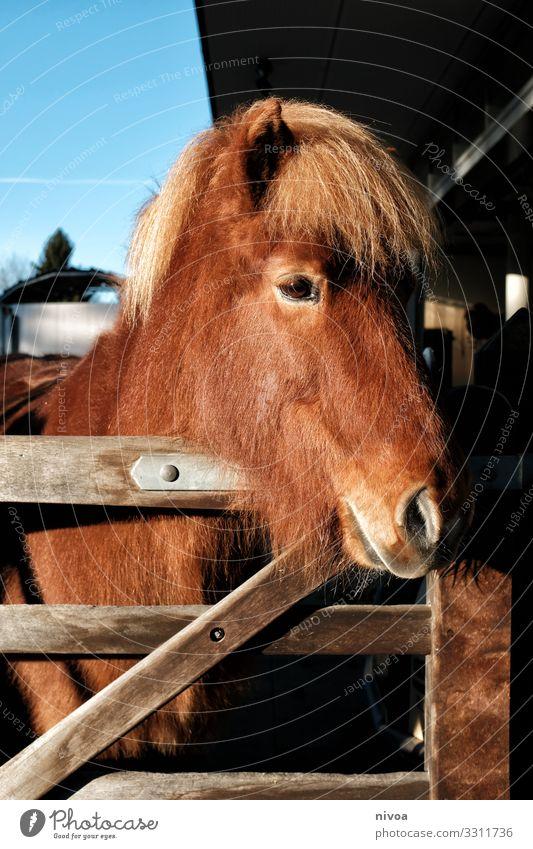 Islandpferd Fuchs Freizeit & Hobby Reiten Reitsport Umwelt Stall paddock Wege & Pfade Tier Nutztier Pferd Tiergesicht Fell Isländer Island Ponys 1 Herde Pferch