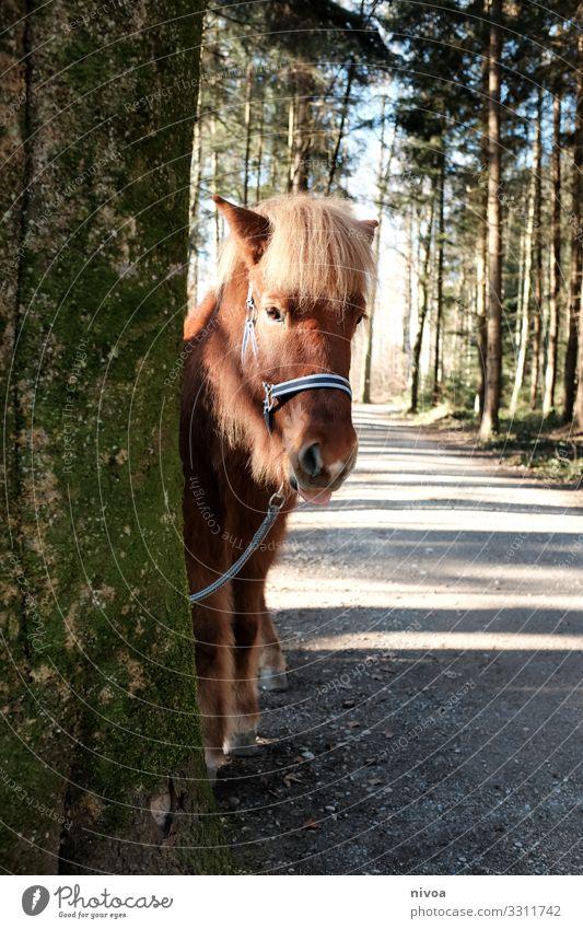 Islandpferd schaut hinterm Baum hervor Ausflug Abenteuer Winter Reiten Umwelt Natur Landschaft Wetter Schönes Wetter Wald Menschenleer Wege & Pfade Tier