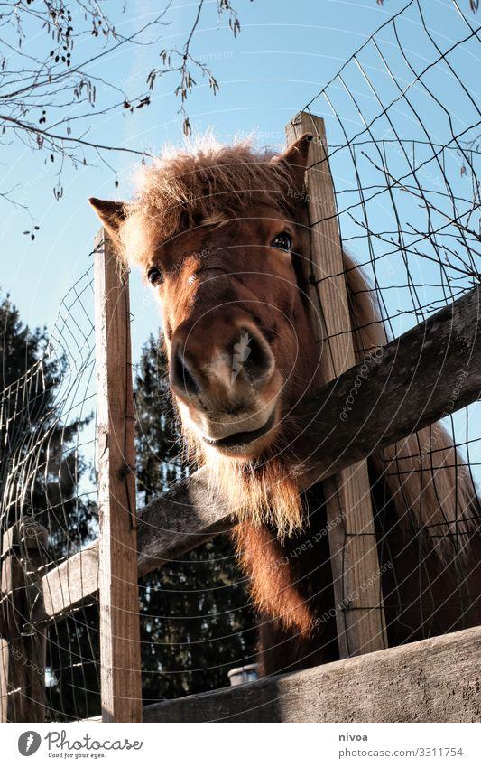 Isländer Fuchs schaut über den Zaun Pferd Pony Islandpferd Farbfoto Tierporträt Tag Menschenleer Island Ponys Außenaufnahme Natur Blick Mähne Nutztier