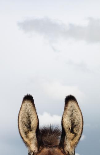 Horch ! Himmel Tier lustig braun grau hören Fell Wachsamkeit Nutztier