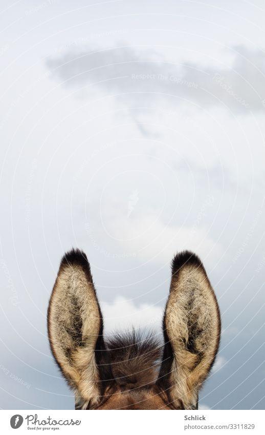 Horch ! Himmel Tier Nutztier Fell Esel Hausesel 1 hören lustig braun grau Wachsamkeit Säugetier Wolken Detail senkrecht aushorchen aufgerichtet Tierhaare pelzig