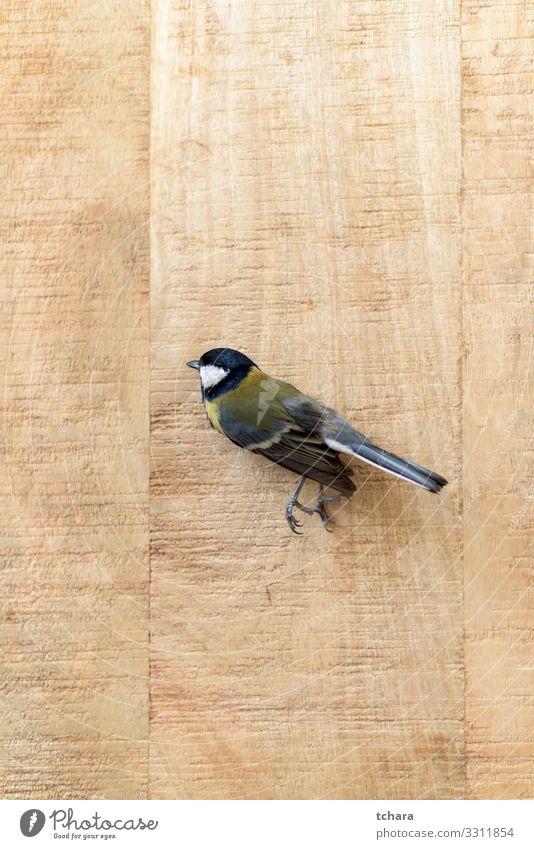 Kleine tote Meise auf einem alten Holzbrett schön Garten Dekoration & Verzierung Natur Tier Park Vogel Flügel klein natürlich niedlich wild blau gelb Tod Farbe