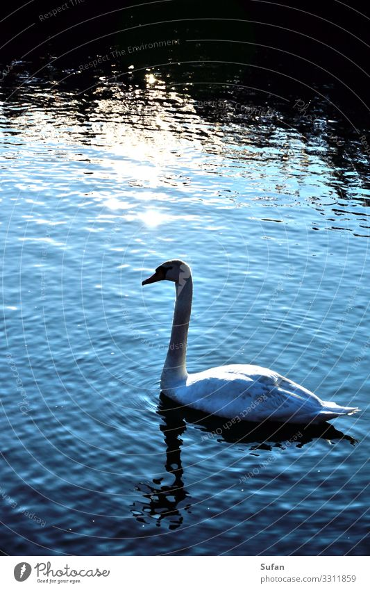Schwanenkönig Umwelt Natur Tier Wasser Sonnenaufgang Sonnenuntergang See 1 beobachten entdecken Schwimmen & Baden tauchen ästhetisch nass blau schwarz silber