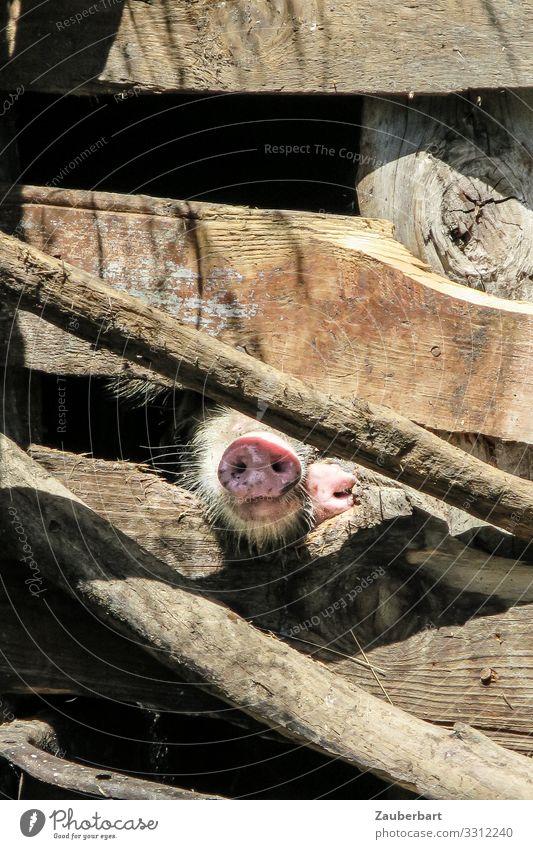 Neugierig Natur Tier Holz Leben natürlich braun niedlich Landwirtschaft Holzbrett atmen Schnauze Schwein Landleben Nutztier Stall
