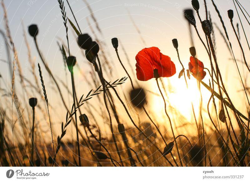 goldene Zeit Sommer Schönes Wetter Blume Wiese Feld Blühend Duft leuchten verblüht dehydrieren Wachstum heiß hell trocken Wärme rot Zufriedenheit Lebensfreude