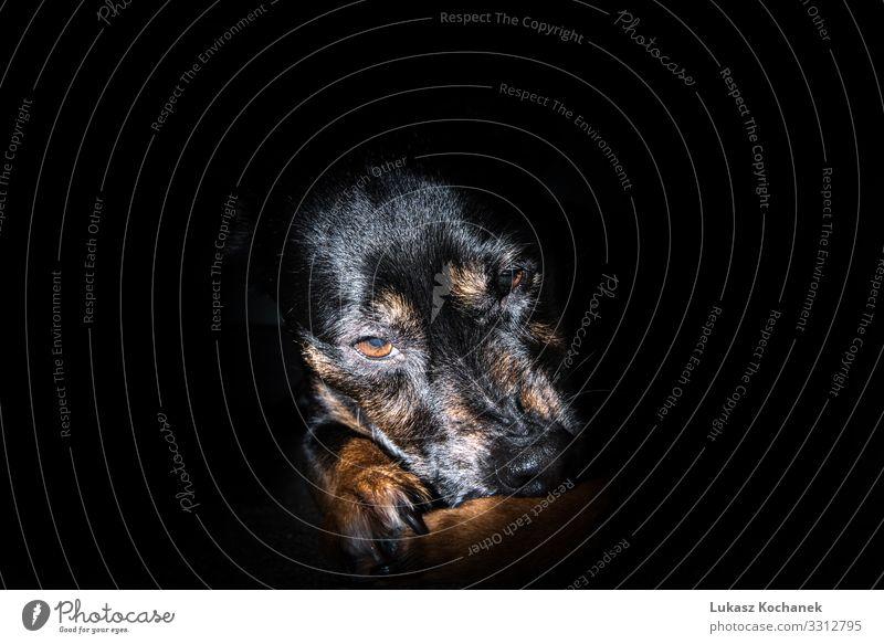 Alter schwarzer Hund isoliert auf schwarzem Hintergrund - trauriges Haustier schön Gesicht Tapete Arbeit & Erwerbstätigkeit Freundschaft Natur Tier Pelzmantel