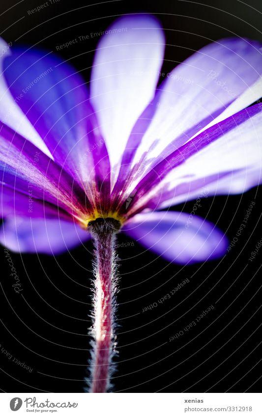 violette Anemone aus der Froschperspektive Frühling Blume Blüte Anemonen Frühlingsblume Garten Blühend schön klein schwarz Strahlenanemone Buschwindröschen