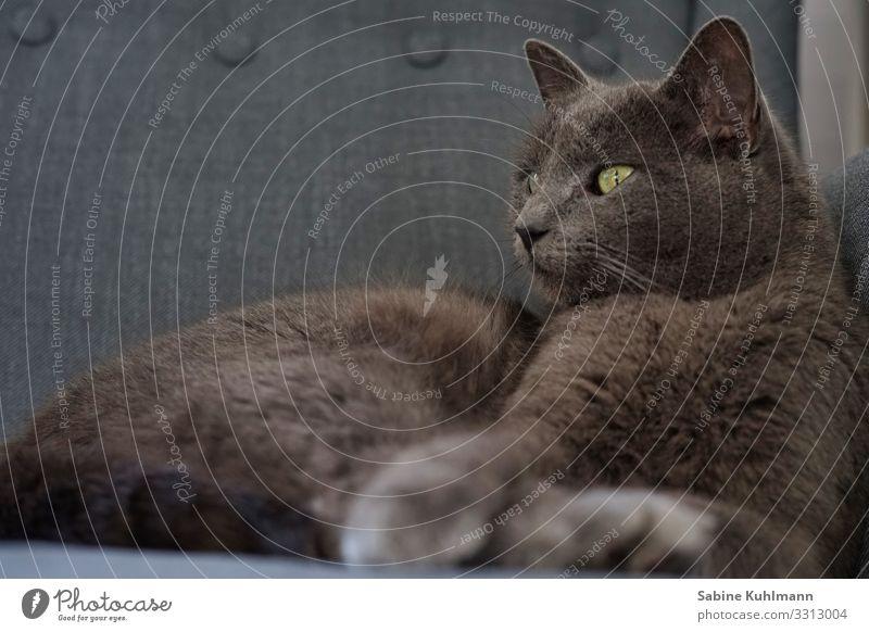 Katzenleben Tier Haustier 1 beobachten Erholung kuschlig natürlich niedlich schön weich grau Zufriedenheit Vertrauen Geborgenheit Tierliebe Gelassenheit Glück