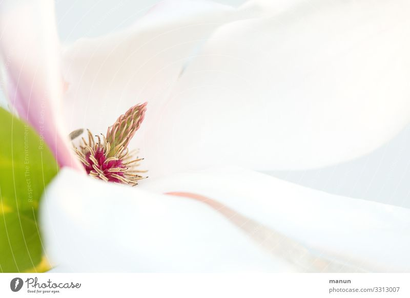 Magnolia harmonisch Sinnesorgane Natur Frühling Pflanze Baum Blüte Frühlingsfarbe Magnolienblüte Freundlichkeit frisch hell weiß ästhetisch elegant Farbfoto