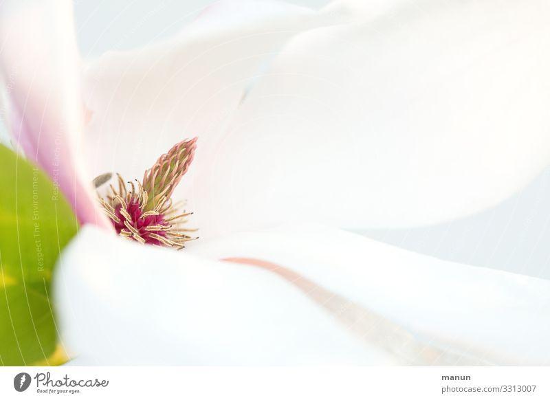 Magnolia Natur Pflanze weiß Baum Blüte Frühling hell frisch elegant ästhetisch Freundlichkeit harmonisch Sinnesorgane Frühlingsfarbe Magnolienblüte