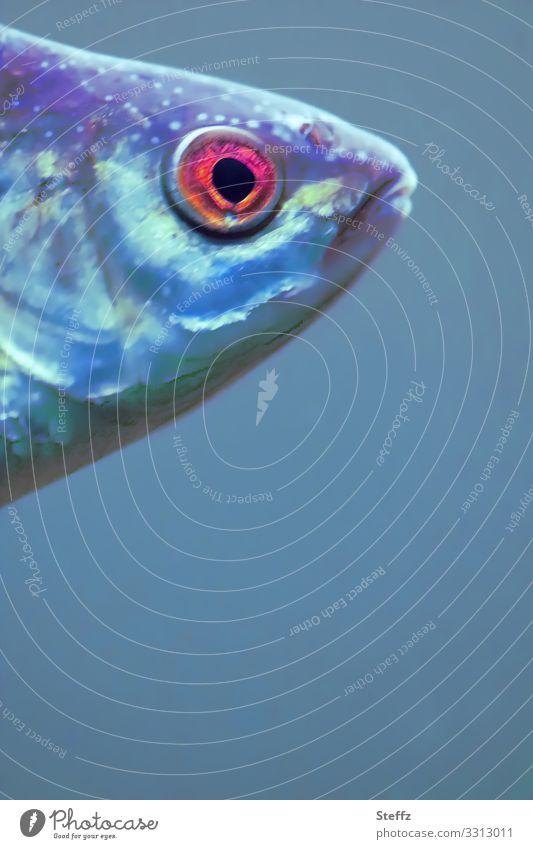 Fisheye Umwelt Natur Tier Wasser Wildtier Fisch Tiergesicht Fischkopf Fischauge Fischmaul beobachten Blick Schwimmen & Baden außergewöhnlich nah schön blau