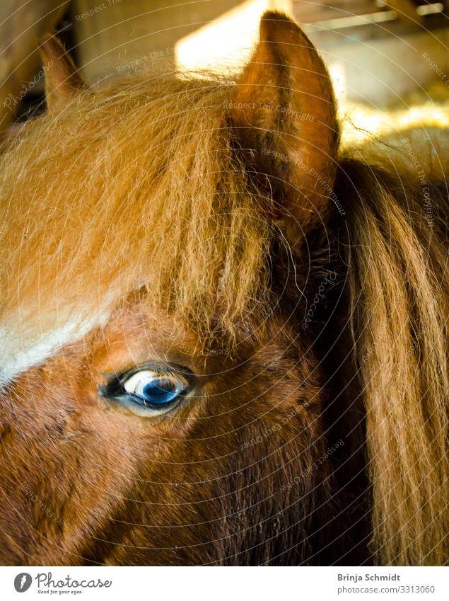 Profil eines Ponys mit blauen Augen Natur Gesundheit natürlich lustig außergewöhnlich frisch glänzend Lächeln Idylle Fröhlichkeit Lebensfreude authentisch