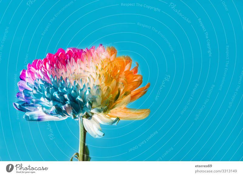 Mehrfarbige Blume auf blauem Hintergrund mehrfarbig Farbe Blütenblatt Hintergrund neutral rosa rot Roséwein gelb orange arome schön Frühling Sommer Muttertag