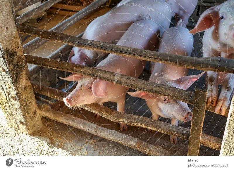 Junge Ferkel auf einem Bauernhof Landwirtschaft Tier Scheune Eber Tierzucht züchten Landschaft Speise ökologisch füttern Zaun Lebensmittel Tiergruppe Schwein