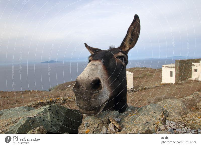 Wasn? Himmel Sommer Meer Tier Freude lustig Insel Fröhlichkeit Hügel Mittelmeer Tiergesicht Griechenland Nutztier Esel Ägäis Kykladen
